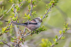 Long Tailed Tit (Linda Martin Photography) Tags: bird dorset longtailedtit longhamlakes wildlife aegithaloscaudatus uk nature coth alittlebeauty specanimal naturethroughthelens coth5