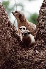 Meerkat. (iv.morrison) Tags: suricata familia africa safari park small animal animals photoanimal suricate meerkat son
