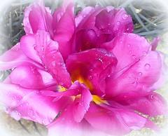deep pink (quietpurplehaze07) Tags: ღღentreamigosღღproyecto365días octubrerosa tulip pink deep double doubletulip deeppink macro