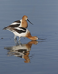 Prelude (tomblandford) Tags: americanavocet avocet matingactivity conservation nature cornelllab audubonbirds kansaswetlands kansasbirding protecttheenvironment protectpubliclands protectwildlife