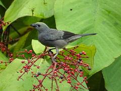 Costa Rica '19 (faun070) Tags: palmtanager bird wildlife laselva costarica thraupispalmarum