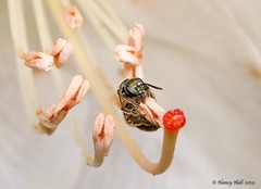 Metallic-Sweat Bee (Lasioglossum) (nehall) Tags: bees sweatbee metallicsweatbees macro