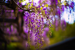 From Above (moaan) Tags: tanba hyogo japan flower flowering flora wisteria season springtime may color richlycolored purple sky fromthesky lowangleview focusonforeground selectivefocus bokeh bokehphotography dof leica leicamp noctilux 50mm f10 noctilux50mmf10 leicanoctilux50mmf10 utata 2019