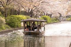 Spring is passing by.... (yukky89_yamashita) Tags: 京都 伏見 宇治川派流 さくら 桜 十石舟 kyoto japan spring river fushimi boat cruise cherryblossoms sakura