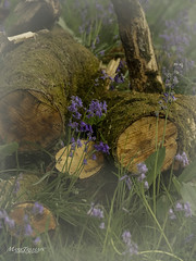 Woodland litter (Through-my-eyes.) Tags: bluebells bells woodland litter stumps wood logs olympusem1 75300mmlens moss grass flowers
