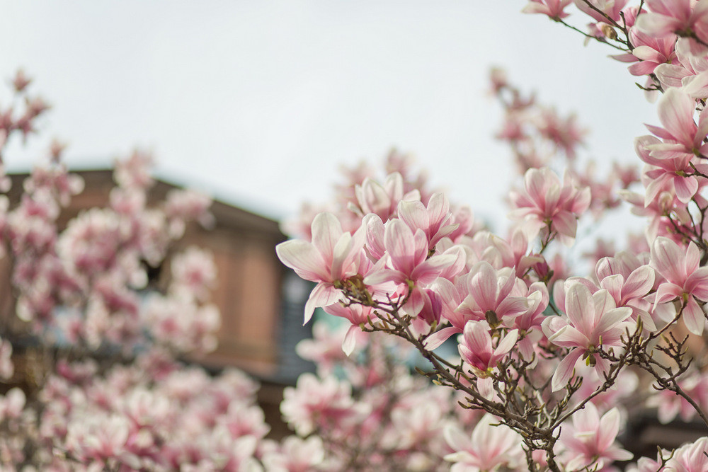 The Worlds Best Photos Of Magnolia And Massachusetts Flickr Hive Mind