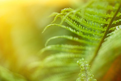Close up of fresh bright green fern in spring with sun flare (yuliablazhuk) Tags: fern green leaves macro forest nature background lush pattern leaf botanical botany branch flora foliage fresh growth plant stem tropical wild close up just opened plants spring rain micro bud blurry environment shallow blur climate closeup curl curly exotic furl grow jungle backdrop texture copy beam flare sun sunny sunshine