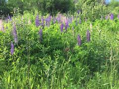 Россия. Урал 2017. Russia. Ural 2017. (svv.david) Tags: россия урал 2017 russia ural summer forest flowers heat blue green grass bushes