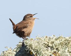 Wren at full blast... (Sue MacCallum-Stewart) Tags: wren bird singing shetland nature wildlife