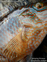 Corkwing Wrasse - Symphodus melops (liamearth) Tags: male melops symphodus corkwing common fish ichthyology water spinner spoon lure fishing angling animal wildlife species outdoor fins worm hook earth sport black body scales dorsal abstract artistic mouth eye portrait fishportrait fishart sea ocean marine bait predator atlantic macro food sand european rock demersal roughskin teeth wrasse ballan kelp seaweed labrus dimorphic