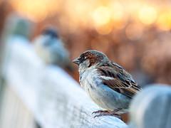 Jack? (Paco CT) Tags: animal ave bird trondheim trøndelag norway sparrow bokeh quiet relax pacoct 2019 explore