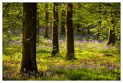 (Light Magnetic) Tags: wood spring landscape tree flower hampshire uk woodland bluebells plant