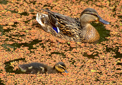 Duck family in brown water (Tony Worrall) Tags: birds wild wildlife fowl feathers cute small baby nature natural new season canal wet water swim duck duckling preston lancs lancashire city welovethenorth nw northwest north update place location uk england visit area attraction open stream tour country item greatbritain britain english british gb capture buy stock sell sale outside outdoors caught photo shoot shot picture captured ilobsterit instragram photosofpreston chic