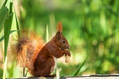 Squirrel (THW-Berlin) Tags: squirrels animals mammals tiere nature wildlife creatures sony alpha6500 fe70300mm