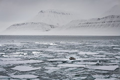 Alone in the Arctic (MrBlackSun) Tags: beardedseal seal svalbard spitsbergen nikon d850 landscape nature photography naturephotography landscapephotography