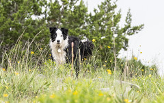 Ellie (Mark.Swanson) Tags: ranch utopia texas dog flowers