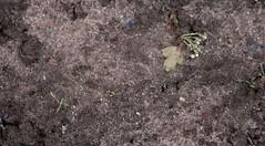 127 - 365 carrots (horsesqueezing) Tags: allotment carrots seedlings 365