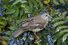 _B5A4903REWS Collecting Dinner, © Jon Perry, 7-5-19 zbq (Jon Perry - Enlightenshade) Tags: mistlethrush enlightenshade arranginglightcom jonperry bird berry 7519 20190507