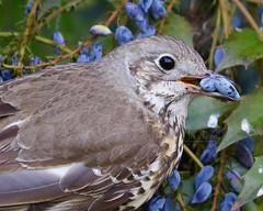 _B5A4902REWS Mistle Thrush, © Jon Perry, 7-5-19 zbq (Jon Perry - Enlightenshade) Tags: enlightenshade arranginglightcom jonperry mistlethrush bird berry 7519 20190507