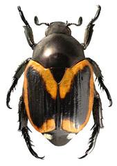 Popillia bipunctata (dries.marais) Tags: coleoptera scarabaeidae rutelinae anomalini popillia bipunctata