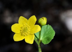 Marsh Marigold (jmunt) Tags: wildflower flower marshmarigold calthapalustris nativewildflower nature