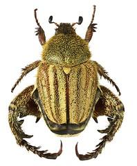 Heterochelus armipes (dries.marais) Tags: coleoptera scarabaeidae melolonthinae hopliini heterochelus armipes southafrica africa monkeybeetle