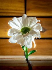 One Daisy. (CWhatPhotos) Tags: cwhatphotos photographs photograph pics pictures pic picture image images foto fotos photography that have which with contain flickr flower closeup macro nature color colors colour pink queen olympus omd em1 60mm mzuiko prime lens daisey daisy shadows light artistic