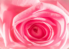 The Pink Rose. (CWhatPhotos) Tags: cwhatphotos photographs photograph pics pictures pic picture image images foto fotos photography that have which with contain flickr flower closeup macro nature color colors colour pink queen olympus omd em1 60mm mzuiko prime lens rose pinky pinks
