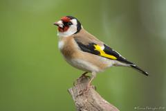 Chardonneret élégant (DorianHunt) Tags: birds bokeh goldfinch switzerland may 2019 nikond500 sigma 150600mm