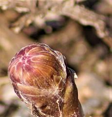 gömd (aggeji) Tags: fs190414 gomd hidden fotosondag tussilago gul knopp bud yellow coltsfoot