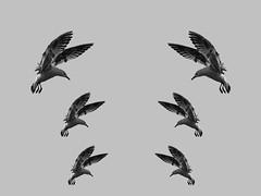 P2261300-Seagul try to landing opened wings-blackandwhite_resize (ciddibirikiuc) Tags: m43turkiye