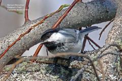 Black Capped Chickadee_IMG_3258 (bud_marschner) Tags: creamersfield fairbanksalaska blackcappedchickadee
