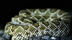 Mojave rattlesnake (Crotalus scutulatus) (phl_with_a_camera1) Tags: utah desert mojave rattlesnake crotalus scutulatus rattle snake