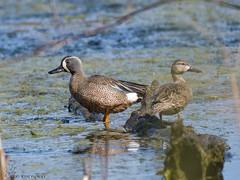 Blue-winged Teal pair._003 (Estrada77) Tags: bluewingedteal pair ducks water wildlife spring2019 illinois birds birding nature nikon nikond500200500mm animals outdoors