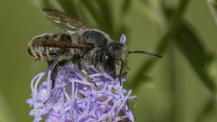 Megachile sp. 2019.03.28 (carmen chase) Tags: argentina argentine fotomacrografía photomacrography macrofotografía macrophotography action acción macro insect insecto arthropoda insecta hymenoptera megachilidae megachile bee abeja cortadora de hojas leaf cutter leafcutter leafcutting a7riii ilce7rm3 sony scan escán telemacro recs sigma 180mm