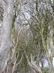 hedgetops (Shannon O'Haire) Tags: got gameofthrones ireland northofireland northernireland kingslanding kingsroad bregaghroad trees darkhedges nature tvshows gothsintrees