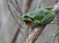 Iberian Tree Frog ♂ (Hyla molleri), Vale de Afonsinho, NE Portugal (Frank.Vassen) Tags: hyla hylamolleri laubfrosch portugal