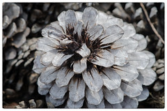 pine cone 39/100x 2019 (sure2talk) Tags: pinecone macro closeup monochrome nikond7000 nikkor85mmf35gafsedvrmicro 100xthe2019edition 100x2019 image39100 39100x2019