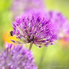 (Nigel Burkitt) Tags: allium earley berkshire bee