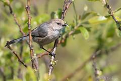 American Bushtit (Psaltriparus minimus) (Frode Jacobsen) Tags: bird aves songbird passerine california frodejacobsen americanbushtit psaltriparusminimus