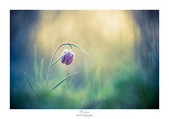 Garder son sang-froid (Naska Photographie) Tags: naska macro macrophotographie macrophoto minimaliste minimalisme monochrome matin morning froid cold givre fraicheur color couleur landscape ambiance bokeh flare flou fritillaire pintade nature sauvage tulipe glace ice blood lumière light