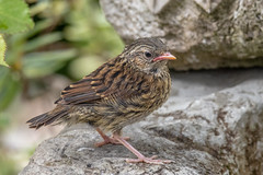 Scruffy Youngster (Linda Martin Photography) Tags: dorset backgarden wildlife nature baby juvenile prunellamodularis dunnock bird uk animal naturethroughthelens coth ngc