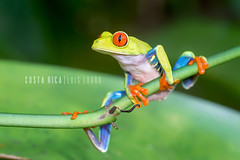 Red-eyed Tree Frog (Luís Louro) Tags: wildlife wildlifephotography animals amphibian anuran amphibians frogs agalychnis callidryas redeyed costarica closeup macro louro rainforest america centralamerica