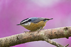 red breast perfect shot (G_Anderson) Tags: missouri backyard birds birding spring nuthatch