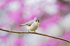 titmouse on purple (G_Anderson) Tags: missouri backyard birds birding spring titmouse