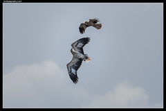 White-bellied Sea Eagle: So, you think you're lucky punk?