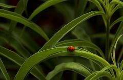 Lady Bug (Hayseed52) Tags: ladybug bug color orange virginia lewisginterbotanicalgardens richmond va leaves