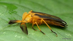 Firefly, Dryptelytra calocera? Lampyridae (In Memoriam: Ecuador Megadiverso) Tags: andreaskay beetle coleoptera dryptelytracalocera ecuador firefly focusstack lampyridae