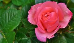 For all my Flickr-friends ! (henkmulder887) Tags: roos havelte rood roze bloem struik plant mei love liefde liebe