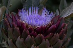 Purple Flame (Jasper's Human) Tags: globeartichoke desertbotanicalgarden flower purple